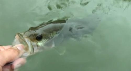 pêche black-bass mouche