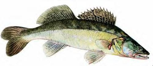 ouverture de la pêche du sandre