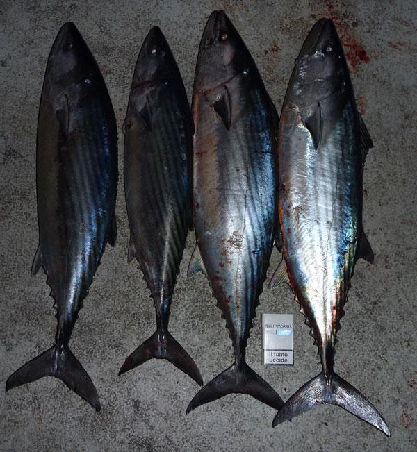 pêche pélamide