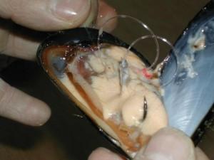 Pêche de la dorade à la moule à la pierre