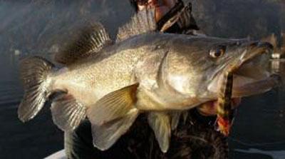 pêche du sandre aux leurres