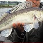 pêche sandre au mort manié