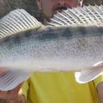 pêche du sandre à la tirette