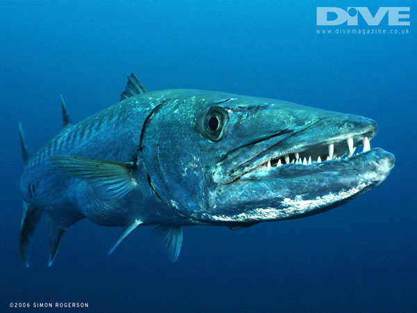 pêche barracuda