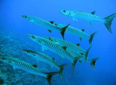 barracuda méditerranée