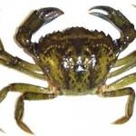 Pêche du bar au crabe