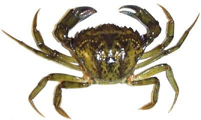 crabe mou, crabe franc, crabe vert, pour la pêche au bar