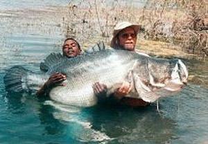 perche du Nil pêche