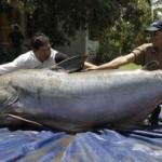 Les plus gros poissons d'eau douce