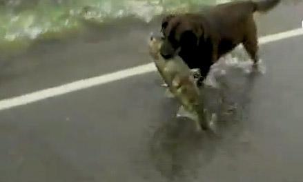 chien qui pêche un saumon sur une route inondée