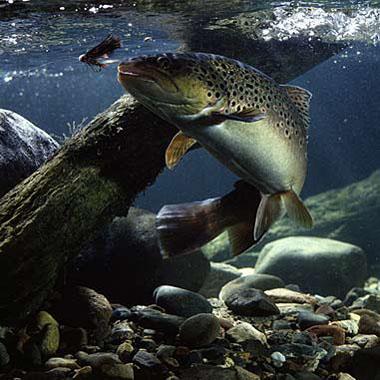ouverture pêche truite
