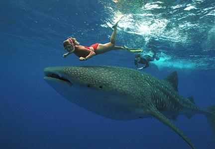nage avec un requin