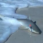 Régis pêche un requin