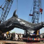 Un requin-baleine de 12 mètres