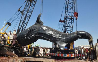requin baleine géant
