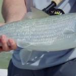 bonefish peche a la mouche