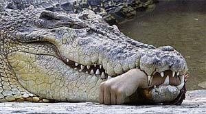 crocodile Okavango