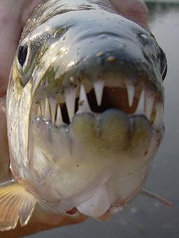 dents acérées du poisson tigre