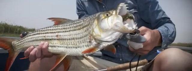 poisson tigre pêche Okavango