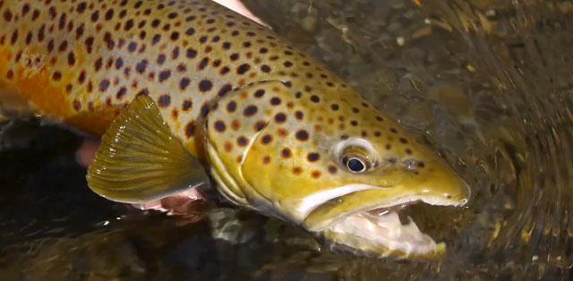 pêche à la mouche de la truite dans le Montana