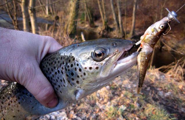 pêche truite vairon manié
