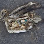Désastre écologique pour l'albatros