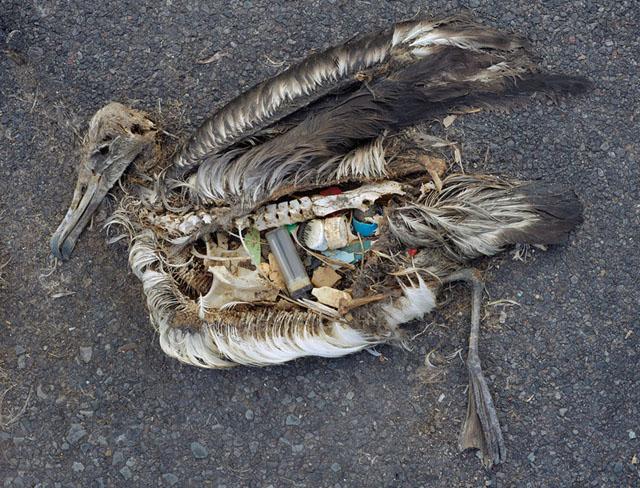 déchets plastiques dans le cadavre d'un albatros