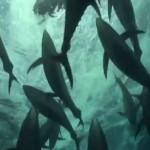 Plongée dans une chasse de thons