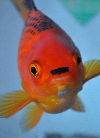 poisson hitler moustache