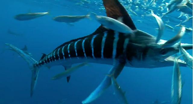 marlin chasse sardine