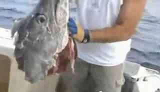 un requin mange un marlin