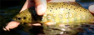 truite fario de Bretagne