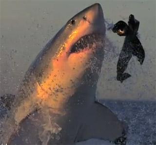 requin attaque otarie