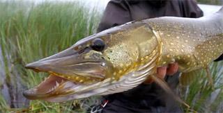 pêche du brochet en Norvège