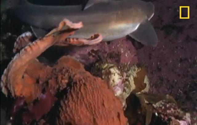 combat entre un requin et une pieuvre