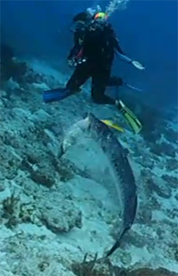 un barracuda mange un poisson
