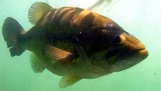 grosse femelle black-bass