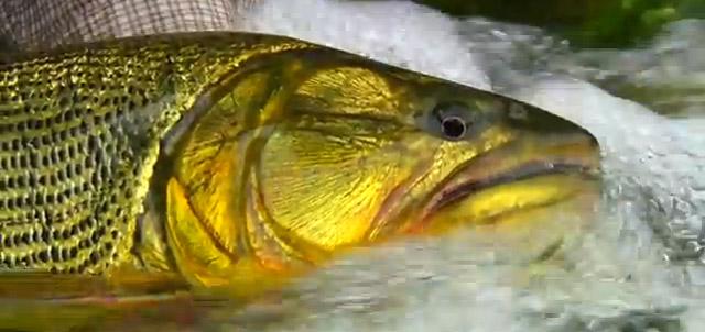 dorado poisson