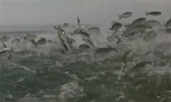 sauts de poissons