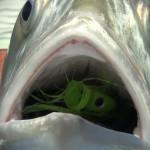popper dans la gueule d'un poisson
