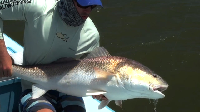 poisson redfish de Louisiane