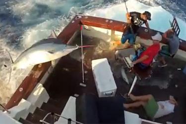 marlin 300 kilos saute sur bateau