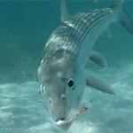 Le bonefish en Guadeloupe