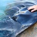 poisson raie caressée