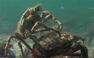 la reproduction des crabes