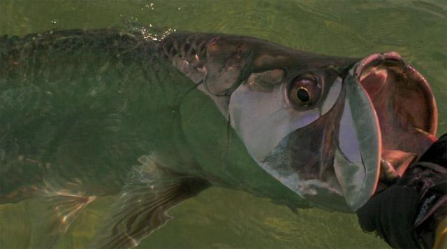 le tarpon est un poisson qui a une énorme bouche
