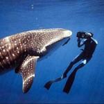 Le requin-baleine, le plus gros poisson du monde