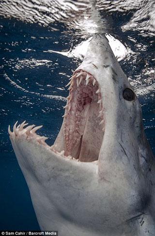 requin taupe mako mâchoire