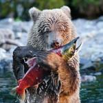 un ours mange un saumon