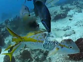un poisson mangé vivant par un barracuda